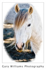 Photograph of a wild mustang horse at Redwings Sanctuary