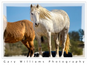 White mustang at Redwings Sanctuary in Lockwood, California
