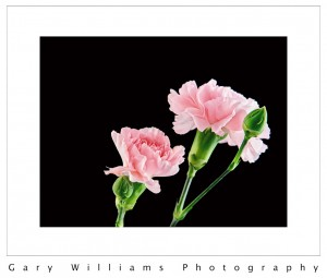 Photograph of 3 carnations