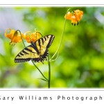 Photograph of a pale tiger swallowtail butterfly