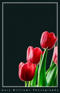 Photograph of red tulips on a black background
