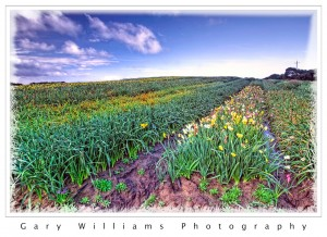 Photograph of a field of daffodils near Castroville, California