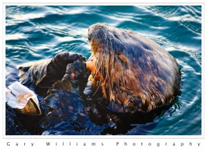 Photograph of a sea otter eating a clam at Moss Landing, California