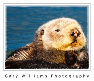 Photograph of a sea otter at Moss Landing, California