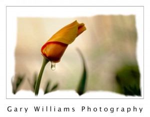 Photograph of a poppy and a single dewdrop