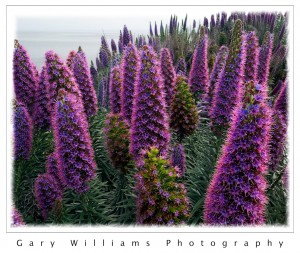Photograph of purple Echium plants in Pacific Grove, California
