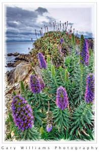 Pphotograph of purple Echium plants along the coast in Pacific Grove, California