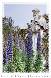 Photograph of purple Echium plants in front of a statue in the courtyard of the Carmel Mission