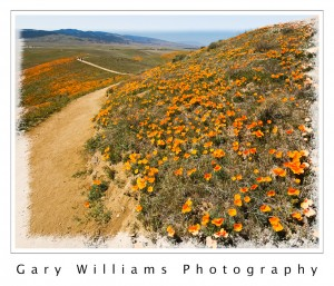 Photograph of California Poppies blooming in the Antelope Valley California Poppy State Reserve