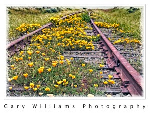 Photograph of California Poppies growing between railroad tracks