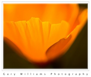 A close up photograph of California Poppy petals