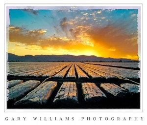 Photograph of the sun's early light reflected from plastic wrapped strawberry rows in the Salinas Valley, California