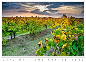 Photograph of a grape vineyard and the setting sun in Easton, California