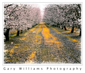 Photograph of fruit trees in bloom in Easton, California