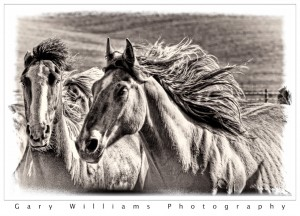 Photograph of  horses in southeastern Washington