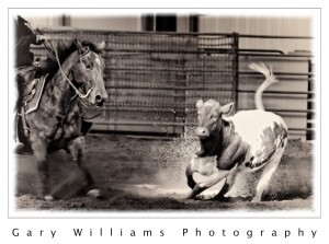 Photograph of a cutting horse and a calf in southeastern Washington
