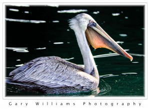 Photograph of a pelican swimming In Moss Landing harbor