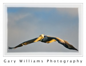 Photograph of a pelican flying at Moss Landing Harbor