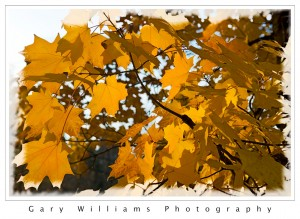 Photograph of  Yellow leaves backlit by the sun in Nevada City, California
