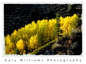 Photograph of  Yellow Aspen trees in the Sierra Nevada Mountains of California