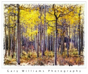 Photograph of  yellow aspen trees in Lundy Canyon in Mono County, California