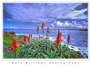 Photograph of red flowers of a succulent plant in Pacific Grove, California