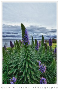 Photograph of purple Echium flowers in Pacific Grove, California