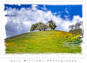 Photograph of oak trees and Johnny-Jump-up wildflowers near Los Banos, California