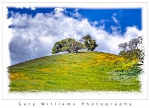 Photograph of oak trees and Johnny-Jump-up wildflowers near Los Banos, California