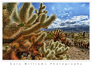 Photograph of cholla cactus in the Joshua Tree National Park
