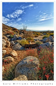 Photograph of Flowers in the Anza-Borrego State Park