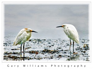 Photograph of two juvenile white herons near Morro Bay, California