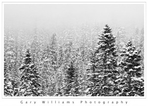 Photograph of snow covered pine trees at Snoqualmie Pass, Washington