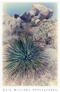 Photograph of boulders and cactus in Culp Valley in Anza-Borrego State Park