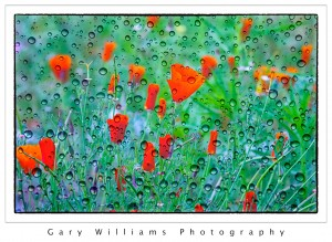 Photograph of red poppies blended with a background texture applied