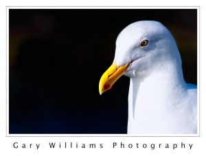 Photograph of a sea gull in Moss Landing Harbor