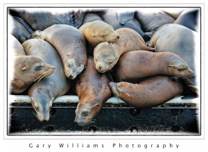 Photograph of sleeping sea lions on the visitors dock in Moss Landing Harbor
