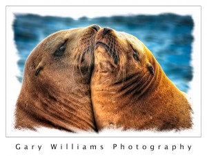 Photograph of two sea lions on the visitors dock in Moss Landing Harbor