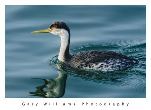 Photograph of a water bird swimming in Moss Landing Harbor