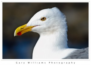 Photograph of a sea gull at Moss Landing Harbor