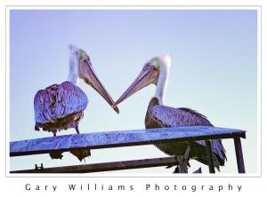 Photograph of two pelicans at Moss Landing Harbor