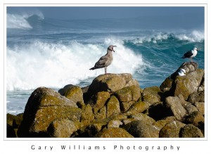 Photograph of a sea gull in front of a large wave at Asilomar, California