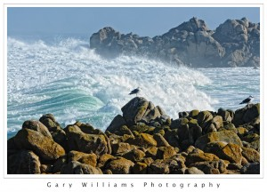 Photograph of two sea gulls in front of a large wave at Asilomar, California