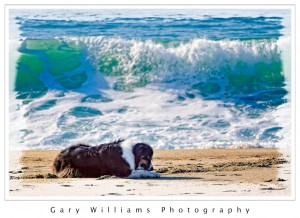 Photograph of a dog in front of a large wave at Moss Landing Beach, California