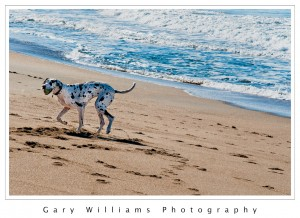 Photograph of a Dalmation dog at Moss Landing Beach, California