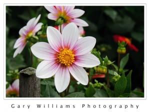 Flowers, Dahlia