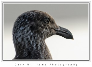 Photograph of the head, eye and beak of a brown sea gull