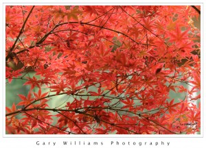 Photograph of red Fall leaves