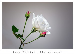 Photograph of a white rose and two rose buds