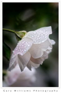 Photograph of a white rose covered with raindrops